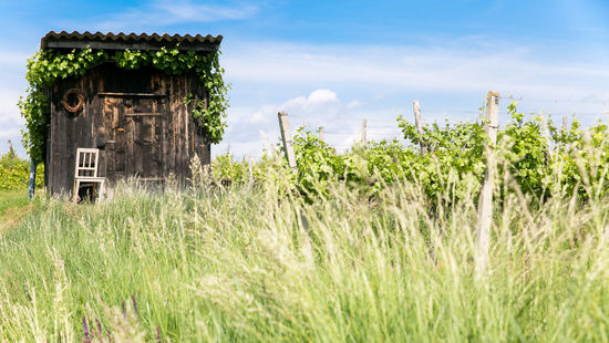 A picture shows a shed in the vineyards