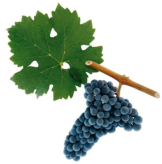 A picture shows grapes of the Cabernet Sauvignon