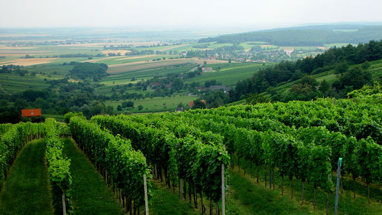 The picture shows vinyards in the region of Südburgenland.