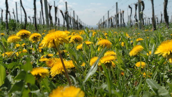Pictured is a vineyard with dandelions.