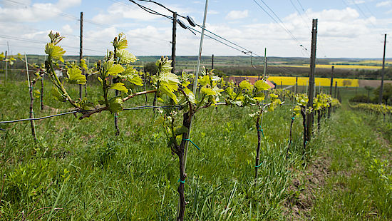 A picture shows vines