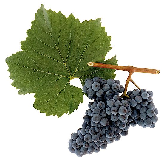 A picture shows grapes of the grape variety Zweigelt