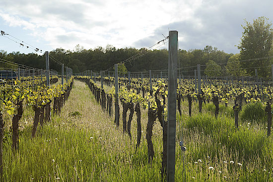A picture shows a vineyard in Burgenland