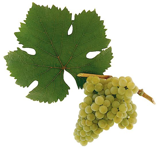 A picture shows grapes of the grape variety  Rotgipfler