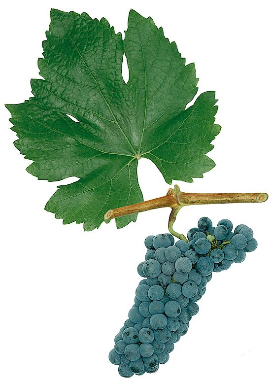 A picture shows grapes of the grape variety Ráthay