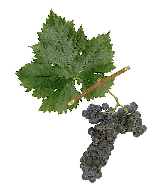A picture shows grapes of the grape variety  Rosenmuskateller/Pink Muscat