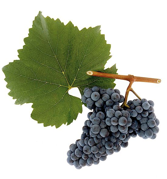 This picture shows grapes of the grape variety Zweigelt