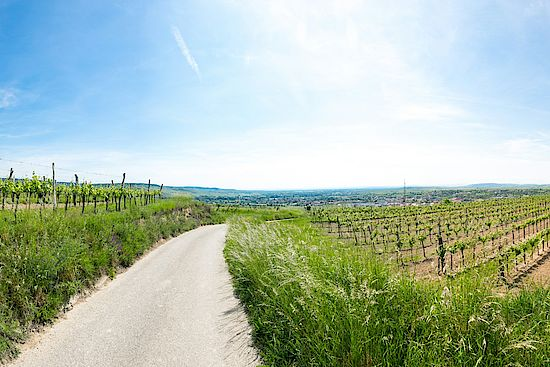 A picture shows a Vineyard in Langenlois