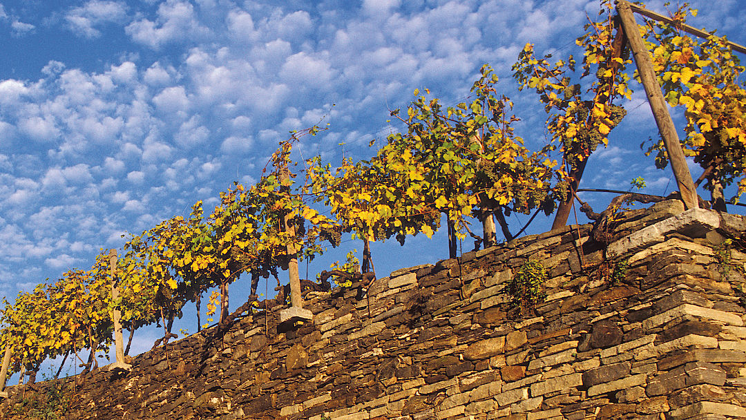 A picture shows Terraces in Wachau