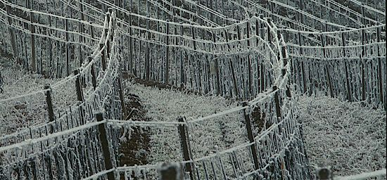 A picture shows a vineyard in winter