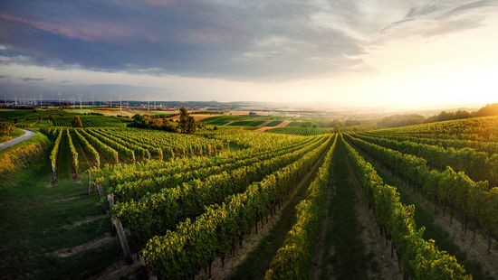 A picture shows the vineyards of Goettlesbrunn in Carnuntum, lower Austria.