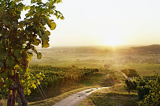A picture shows vineyards in Traisental