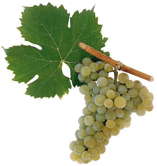A picture shows grapes of the grape variety Bovier