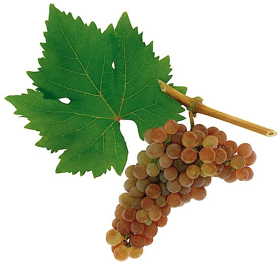 A picture shows grapes of the grape variety Roter Veltliner