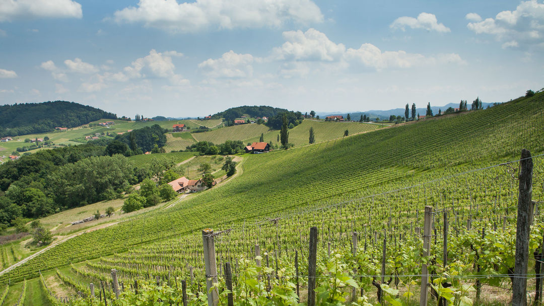 A picture shows a vineyard in Rastsch