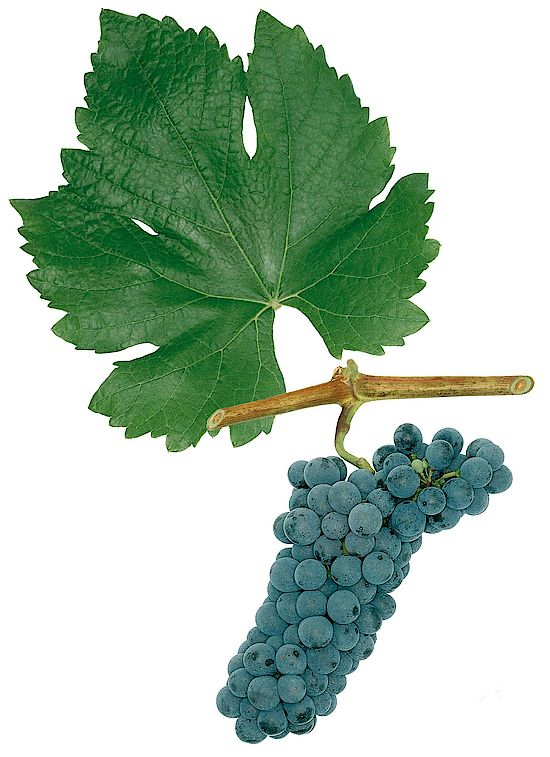 This picture shows grapes of the grape variety  Rathay