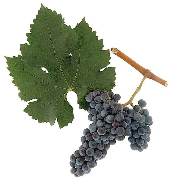 A picture shows grapes of the grape variety  Merlot