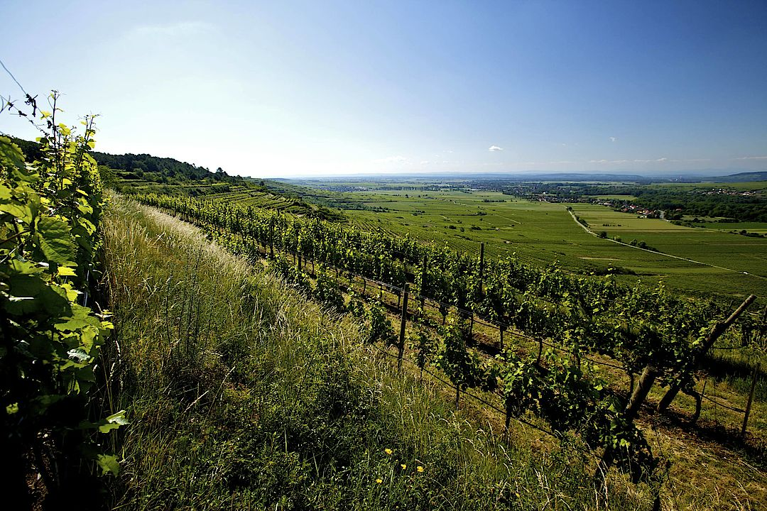 A picture shows a vineyard, © AWMB / Herbert Lehmann