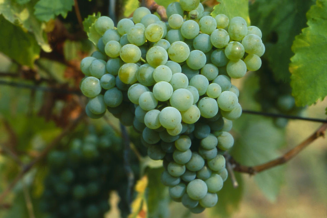 A picture shows a Grüner Veltliner Grape