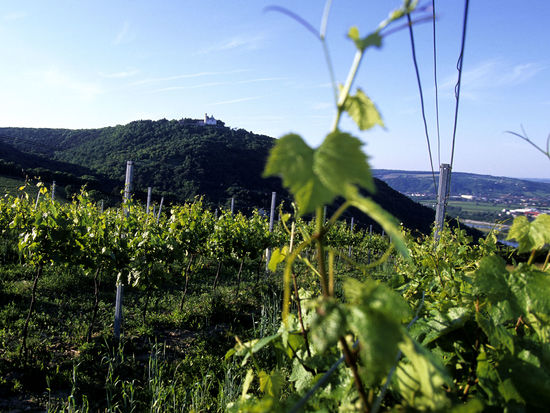 A picture shows a vinyard in vienna