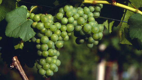 A picture shows Sauvignon Blanc Grapes