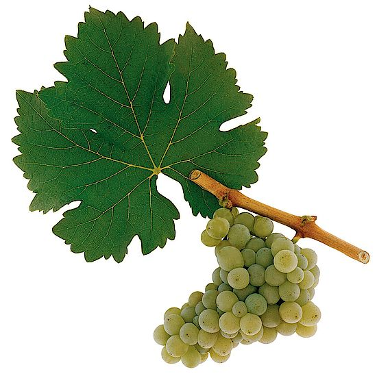 A picture shows grapes of the grape variety Sauvignon Blanc