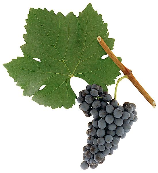 A picture shows grapes of the grape variety  Syrah