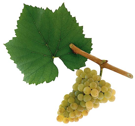 A picture shows grapes of the grape variety Chardonnay