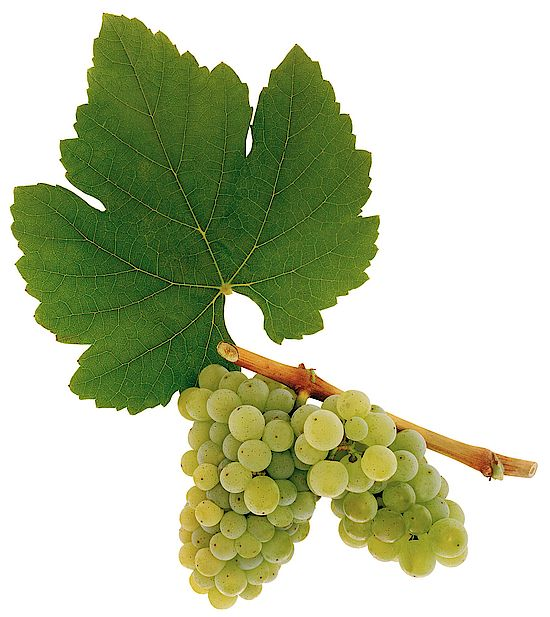 A picture shows grapes of the grape variety Neuburger